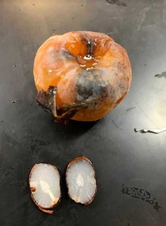 Can a persimmon seed predict our winter weather?